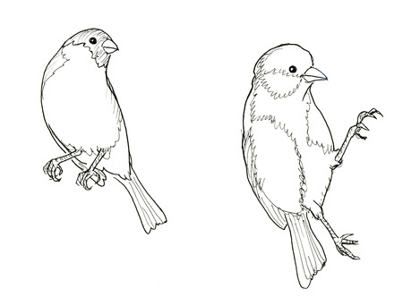 finch: Bullfinch and titmouse. Two birds. Ink line illustration. Raster version Stock Photo