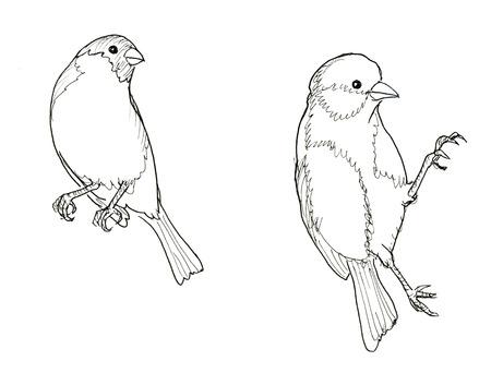 lijntekening: Goudvink en mees. Twee vogels. Inkt lijn illustratie. roosterversie