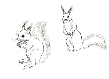 nut: Hand drawn squirrel isolated on white background Stock Photo