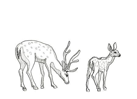 venado: Dibujado a mano dibujo realista de ciervos, aislado en fondo blanco Foto de archivo