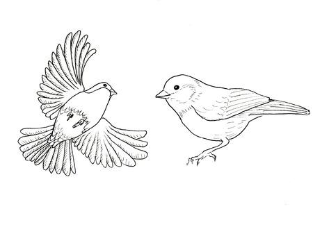 two birds: Bullfinch Two birds. Ink line illustration