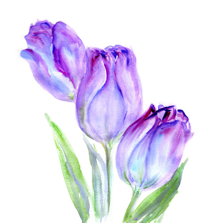 painted: Watercolor Purple Tulips flower. Isolater on white