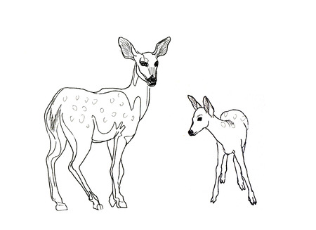baby deer: Hand drawn realistic sketch of deers, isolated on white background