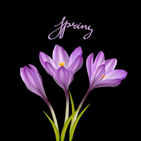 april beautiful: Spring violet crocuses on black. Floral nature spring background Illustration