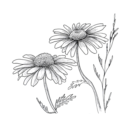 daisies: Camomile hand drawn flowers background, isolated on white