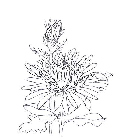 isolated flower: Flower hand drawn chrysanthemum isolated on white Stock Photo