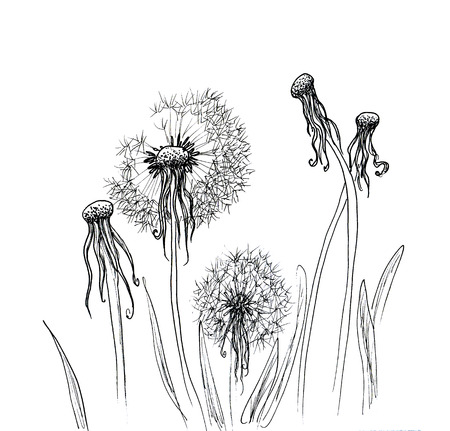 fluff: Hand drawn dandelion isolated over white background Stock Photo