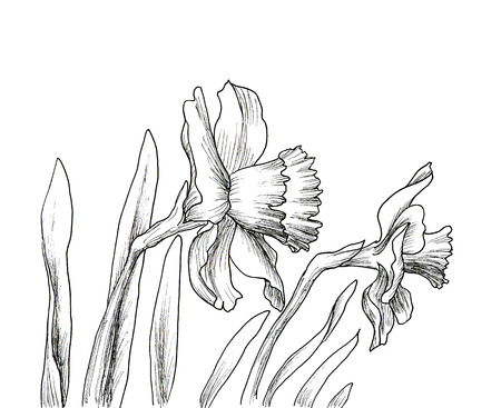 ink drawing: Narcissus flowers in a hand drawn style isolated on white