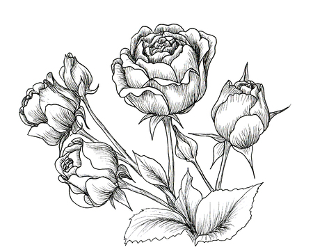 detailed: Highly detailed hand drawn roses isolated on white