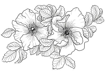 botany: Briar. Wild rose isolated on white. Hand drawn illustration