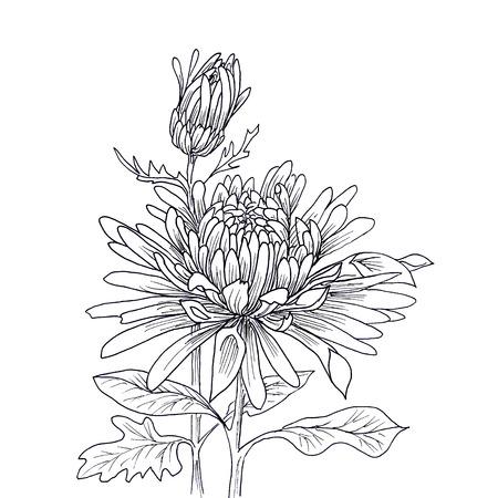 silhouette fleur: Fleur main chrysanthème dessiné isolé sur blanc