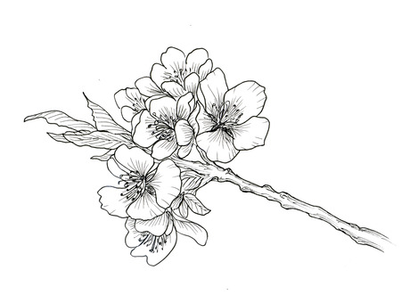 Hand drawn branch of cherry blossom isolated on white background