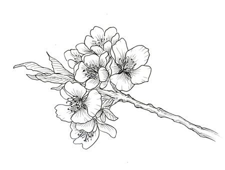flor de cerezo: Mano dibujado rama de la flor de cerezo aislado en el fondo blanco