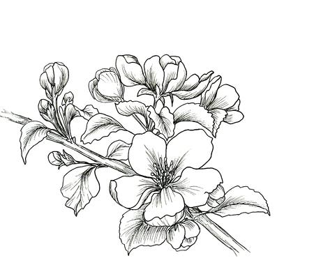 cerezos en flor: Mano dibujado rama de la flor de cerezo aislado en el fondo blanco