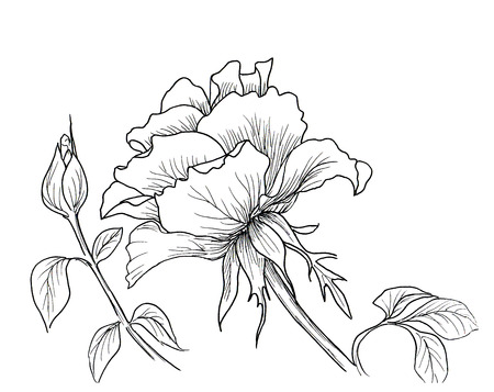 ink drawing: Highly detailed hand drawn roses isolated on white