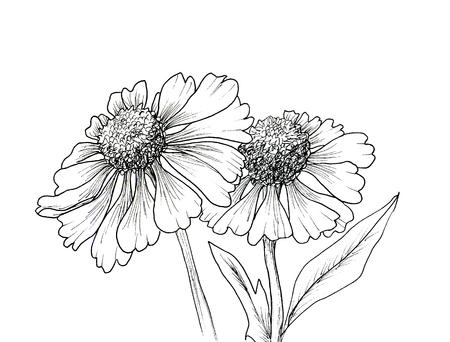 botany: Romantic background with flowers echinaceas isolated on white
