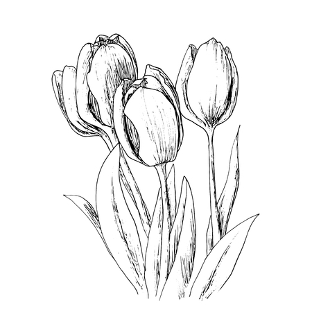 ink drawing: Holland tulips on a white background.