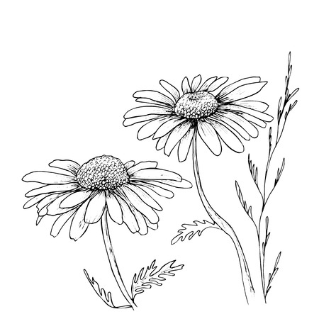 Fondo de flores dibujadas a mano de manzanilla, ilustración de flores de vector