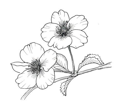 Mano dibujado rama de la flor de cerezo aislado en el fondo blanco