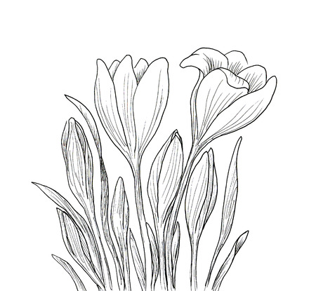 crocus: Hand drawn crocus flowers. Elegant vintage card