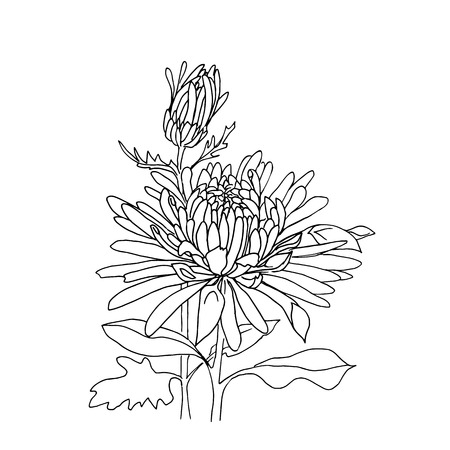ink drawing: Flower hand drawn chrysanthemum isolated on white.
