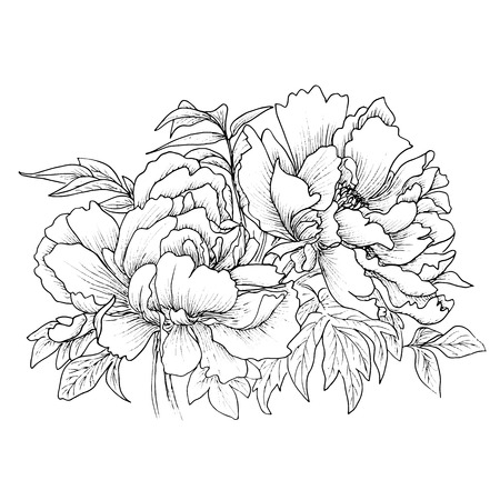 rose petals: Beautiful hand drawn illustration of peony isolated on white background.