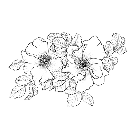Briar. Wild rose isolated on white.