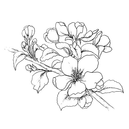 ciruela: Mano dibujado rama de la flor de cerezo aislado en el fondo blanco.