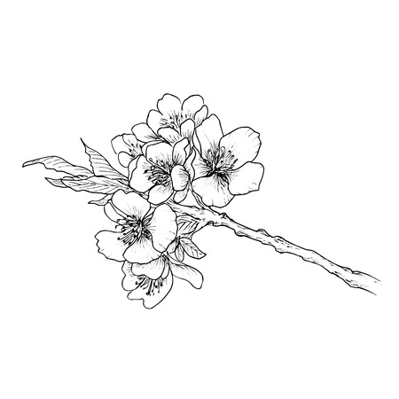 Hand drawn branch of cherry blossom isolated on white background.