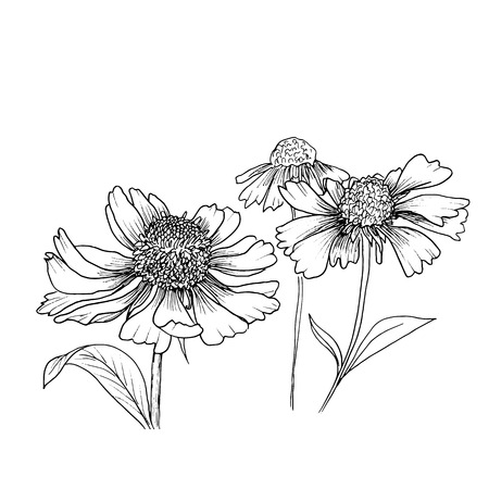 sfondo romantico con fiori echinaceas isolati su bianco.