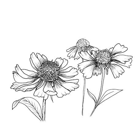 Romantique fond avec des fleurs échinacées isolé sur blanc. Vecteurs