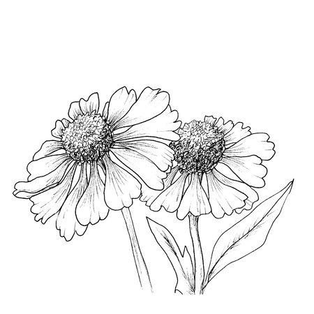 Romantische achtergrond met bloemen echinaceas geïsoleerd op wit. Vector Illustratie