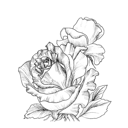 highly detailed: Highly detailed hand drawn roses isolated on white.