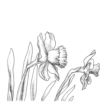 narcissus: Narcissus flowers in a hand drawn style isolated on white.
