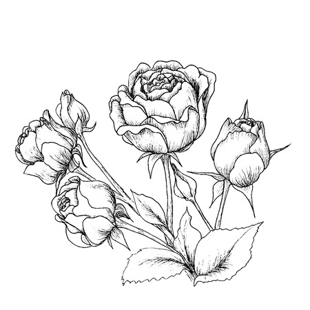 Highly detailed hand drawn roses isolated on white.