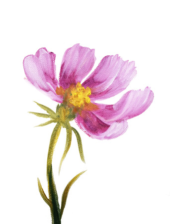 still life: Pink cosmos flower. Oil painting on Canvas. Isolated on white background Stock Photo