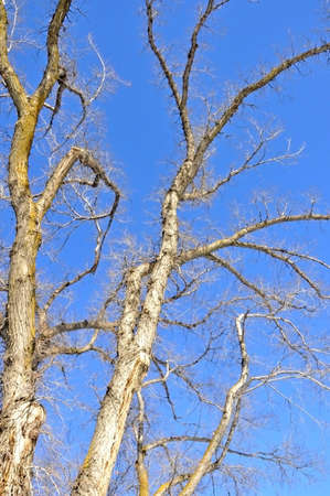 Denuded branches of a tree on blue-sky background photo