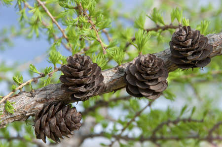 Four pine cones on a branch  Stock Photo