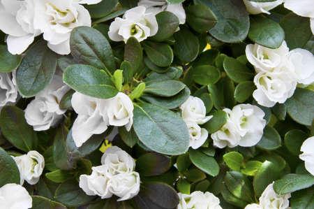 The white flowers of azalea
