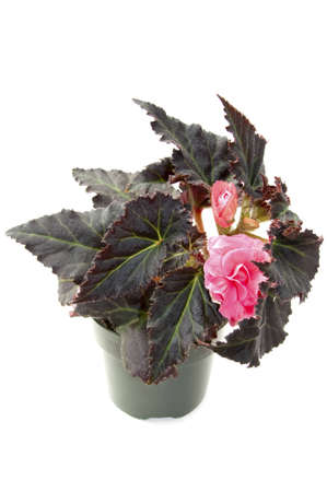 begonia in the  flowerpot, isolated Stock Photo