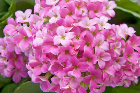 a bunch of pink kalanchoe flowers