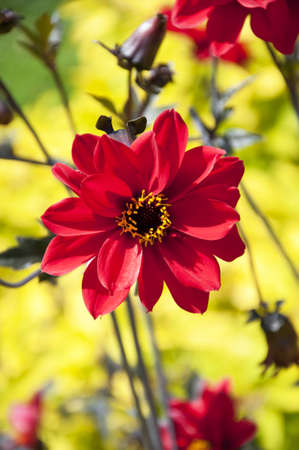 red dahlia on the yellow background