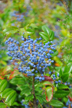 a bush of a wild blueberry