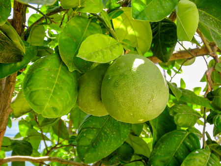 Pomelo, ripening fruits of the pomelo, natural citrus fruit, green pomelo hanging on branch of the tree on a background of green leaves, closeup