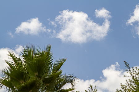 Crown of palm tree on a background of blue sky with white clouds