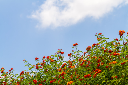 Crowns of flowering bush on a blue sky background with white cloud