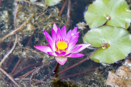 Purple star water lily on the surface of the water, blossom Nymphaea nouchali, star lotus in pond Stock Photo