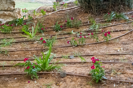 Flowers with drip irrigation tubes, drip irrigation system in Israel