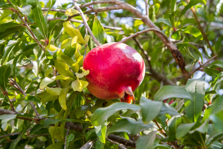 Ripe pomegranate fruit hanging on branch of the tree on background of green leaves, close-up