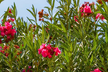 Blooming Nerium oleander, flowering bush of oleander with pink terry flowers on a blue sky background, flora of Israel
